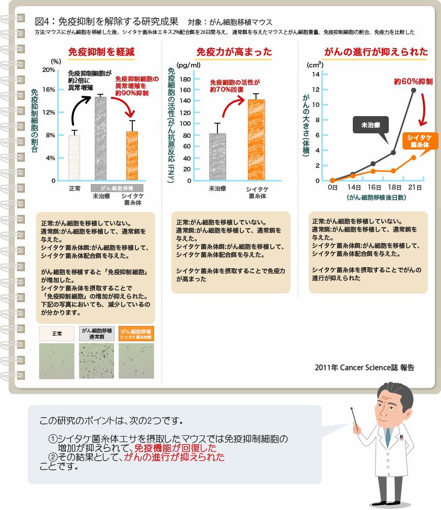 図4:免疫抑制を解除する研究成果 対象:がん(癌)細胞移植マウス[2011年 Cancer Science誌 報告]方法:マウスにがん(癌)細胞を移植した後、シイタケ菌糸体配合餌を26日間与え、通常餌を与えたマウスとがん(癌)細胞重量、免疫抑制細胞の割合、免疫機能を測定した。(1)免疫抑制が減少【通常餌では免疫抑制細胞が約2倍に異常増殖。シイタケ菌糸体餌では免疫抑制細胞の異常増殖を約90%抑制。】正常:がん(癌)細胞を移植していない。通常餌:がん(癌)細胞を移植して、通常餌を与えた。シイタケ菌糸体餌:がん(癌)細胞を移植して、シイタケ菌糸体配合餌を与えた。がん細胞を移植すると「免疫抑制細胞」が増加した。シイタケ菌糸体を摂取することで、免疫抑制細胞の増加が抑えられた。 下記の写真においても、減少しているのがわかります。(2)免疫細胞の活性が回復【通常餌に比べシイタケ菌糸体餌では免疫細胞の活性が約70%回復】正常:がん(癌)細胞を移植していない。通常餌:がん(癌)細胞を移植して、通常餌を与えた。シイタケ菌糸体餌:がん(癌)細胞を移植して、シイタケ菌糸体配合餌を与えた。シイタケ菌糸体を摂取することで免疫力が高まった。(3)がん(癌)細胞の進行を抑制【通常餌に比べシイタケ菌糸体餌では約60%抑制】正常:がん(癌)細胞を移植していない。通常餌:がん(癌)細胞を移植して、通常餌を与えた。シイタケ菌糸体餌:がん(癌)細胞を移植して、シイタケ菌糸体配合餌を与えた。シイタケ菌糸体を摂取することでがんの進行が抑えられた。この研究のポイントは、次の2つです。1.シイタケ菌糸体エサを摂取したマウスでは免疫抑制細胞の増加が抑えられて、免疫機能が回復した2.その結果として、がんの進行が抑えられたことです。