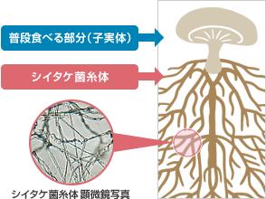 図:シイタケ菌糸体シイタケ菌糸体は、私たちがふだん食べているシイタケの笠の部分(子実体)とは別のもので、糸状の形をしていることから菌糸体と呼ばれます。 この菌糸体に栄養が貯め込まれると、笠の部分が作り出されます。そのためシイタケの母体ともいえ、特徴的な有用成分が多く含まれています。